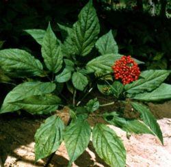 低残留農薬天然植物エキスパンックスジンセンリーフ抽出 ジンセンサイド 80% UV ハーブハーブハーブを使用