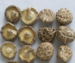 Shiitake-Pilz-weiße BlumeShiitake
