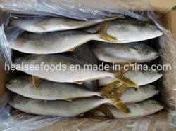공급 방어류 전갱이 물고기 Seriola Quinqueradiata에 의하여 어는 노란 테일