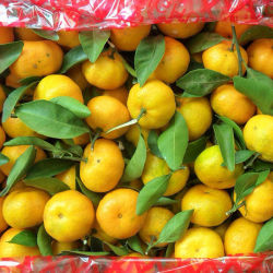 Norma de qualidade para bebé fresca Mandarin