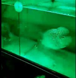 Serbatoio di pesci che illumina l'indicatore luminoso di inondazione verde impermeabile di 150W LED