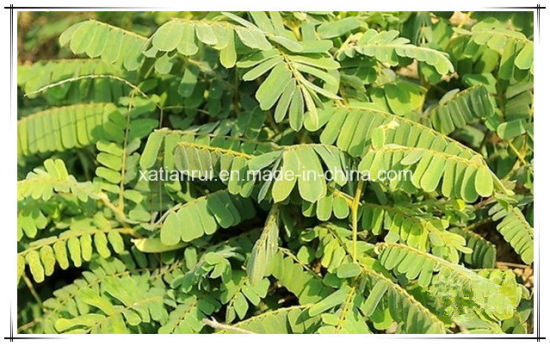 China Manufacturer Natural Abrus Herb Abrus Cantoniensis Hance 10