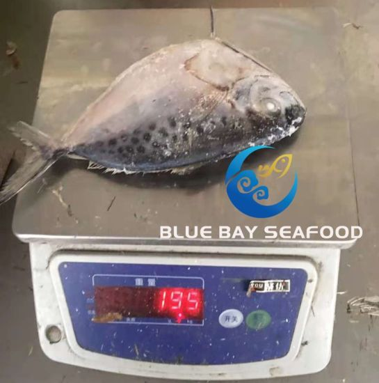 Frozen Moonfish Whole Round /Frozen Fish and Seafood From China Suppliers