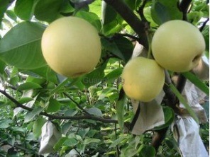 New Crop High Quality Fresh Ya Pear (28/32/36/40/44) pictures & photos