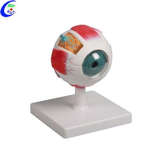 Anatomical Plastic Human Eye Model And Parts