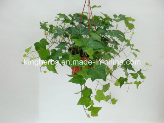 Kingherbs′ 100% Natural IVY Extract: Hederacosid C 10%, 20% by HPLC pictures & photos