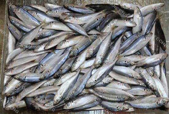 New Landing IQF/Bqf Frozen Horse Mackerel Fish Hot Sales