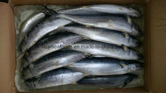 Chinese White Belly Mackerel Factory