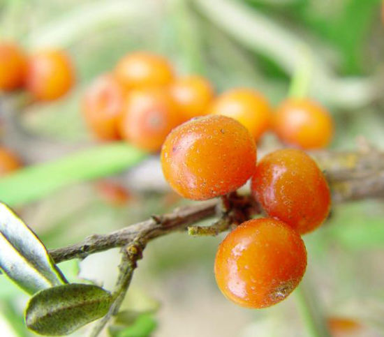 100% Pure Hippophae Rhamnoides Extract pictures & photos