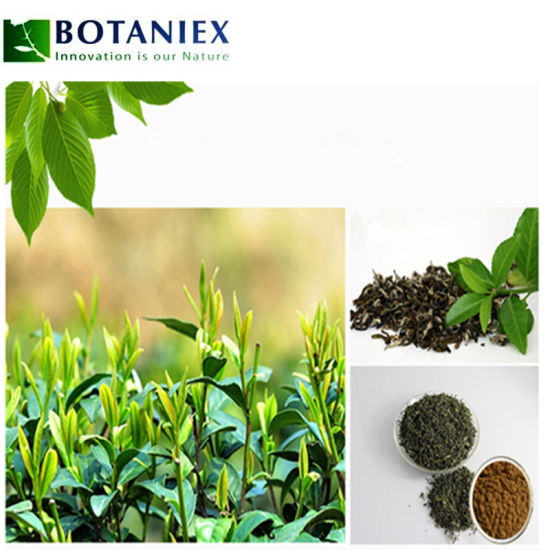 Food Grade Anti-Cancer Green Tea Powder Extract L-Theanine pictures & photos