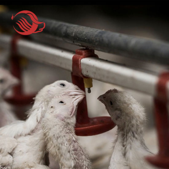 Broiler Breeder Farm Nipple Drinker System and Feeding System