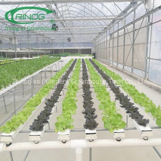 Commercial farm used large greenhouse hydroponics system for lettuce