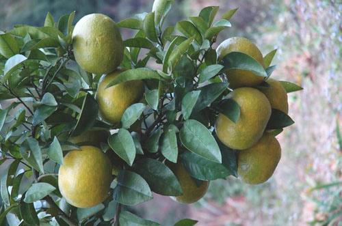 Grapefruit Extract Naringenin 98% CAS 480-41-1