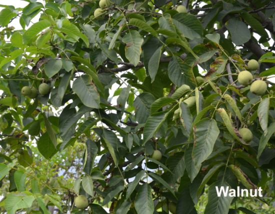 Thin Skin Taihang Mountains Walnuts pictures & photos