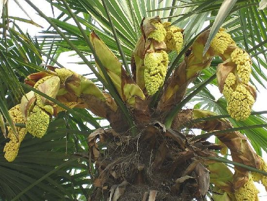 Saw Palmetto Extract Natural Palm Fatty Acid