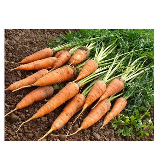 Chinese New Crop Fresh Red Carrot with Competitive Price pictures & photos