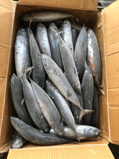 Bonito Fish, Grade a Wr Frozen Bonito, Auxis Thazard