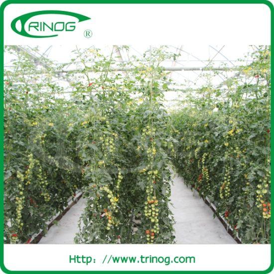 Coco peat hydroponics system for Tomato Greenhouse