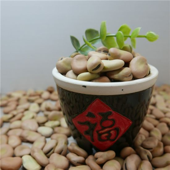 Best Quality Selected Pick Broad Bean 70-80grains/100g