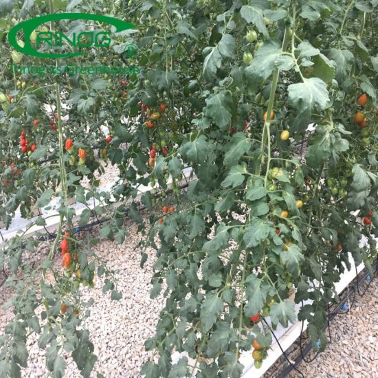 Cherry tomato hydroponics system with fertilizer