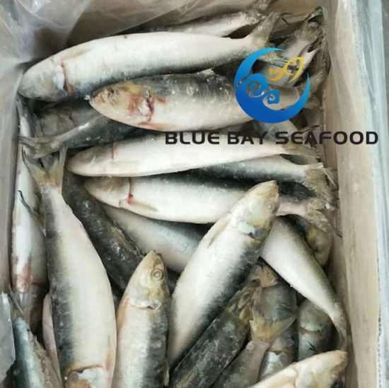 60-70PCS One Carton Frozen IQF Sardin Fish with Competitive Price