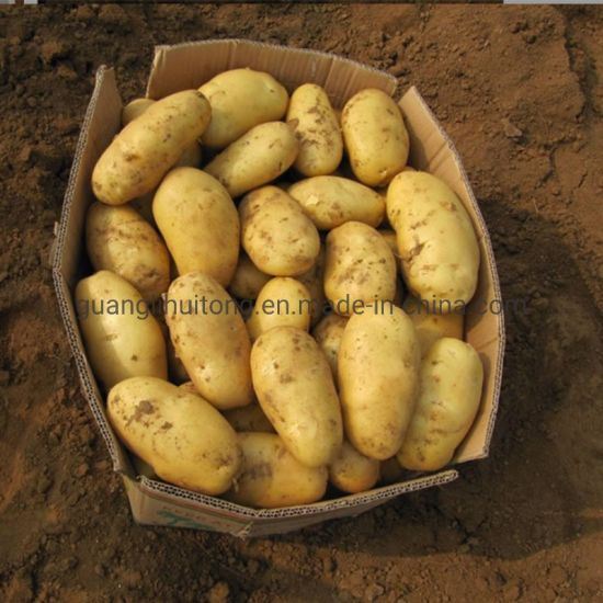 New Product Fresh Potato Hot Selling Potato Market Price pictures & photos