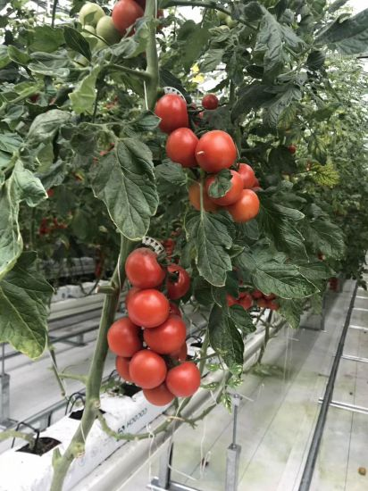 Tomato Hydroponics System with Cocopeat Substrate