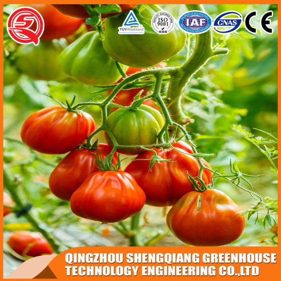 Venlo Type Polycarbonate/ PC Sheet Agricultural Anti-UV Greenhouse for Vegetables/ Flowers/ Fruits/Tomato/ Mushroom/ Hydroponics Growing System/ Eco Restaurants