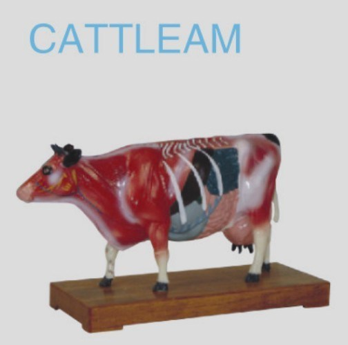 Cattle Acunpuncture Model pictures & photos
