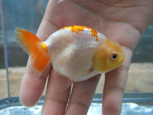 Gold Fish (04-18CM)