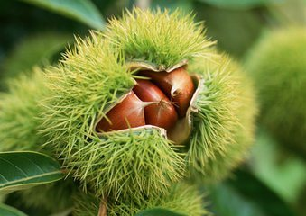 High Quality/Competitive Price Fresh Chestnut pictures & photos