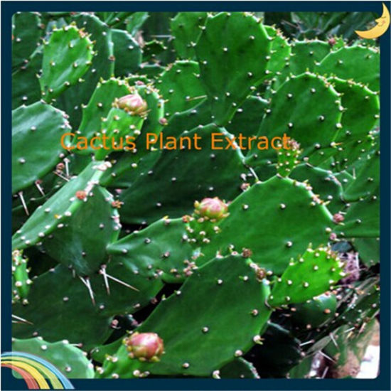 China Pure Natural Cactus Hoodia Gordonii Extract China Cactus