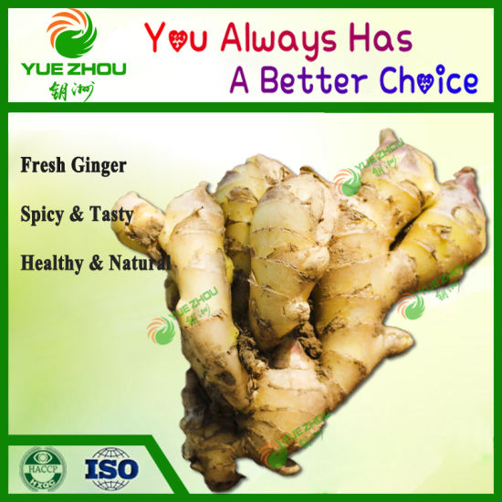Big Fresh Young Ginger with Hot Sale From China