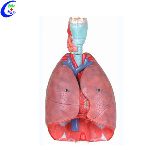 China 3d Anatomy Teaching Tools Respiratory Models For Students