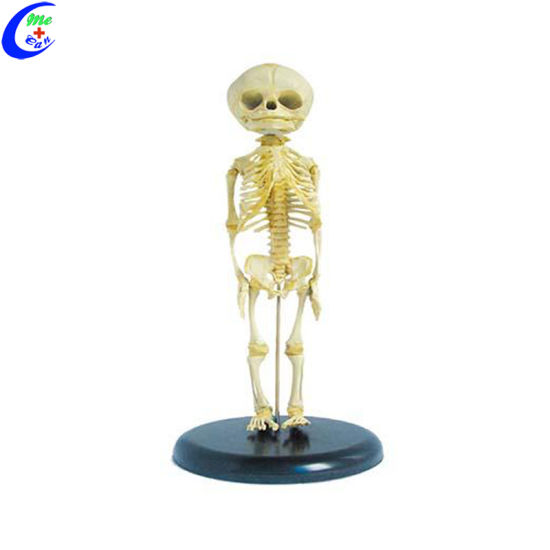 Fetus Skeleton Model Human Body Anatomy Model