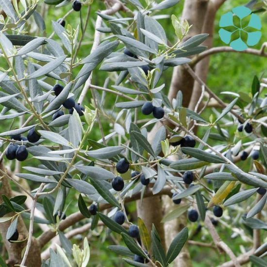 Olive Leaf Extract / Olea Europaea Extract / Oleuropein / Hydroxytyrosol pictures & photos