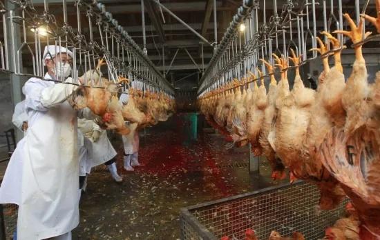 Poultry Slaughtering Equipment Chicken Skin Peeling Machine
