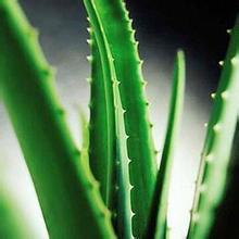 Supply Pure Natural Aloe Vera Gel Spray Dried Powder pictures & photos