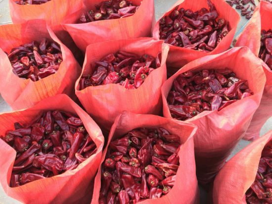 New Crop Good Quality Export Fresh Yidu Chili pictures & photos