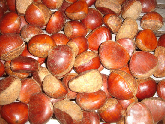 New Season Export Professional Chinese Fresh Chestnut for Roasted