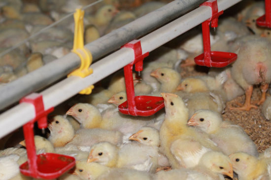 Poultry Automatic Nipple Drinker for Chicken