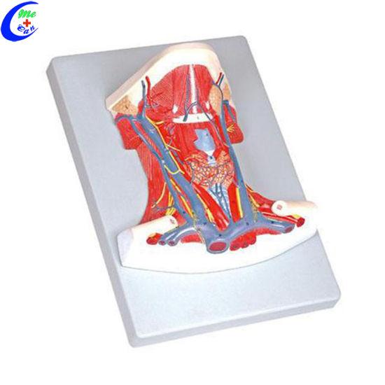 China Medical Anatomy Teaching Aids For Students China Anatomy