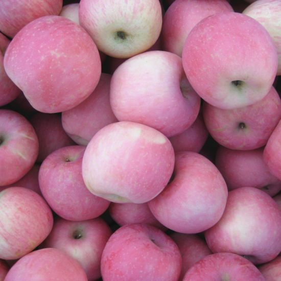 Fresh FUJI Apple Shandong Origin Good Quality pictures & photos
