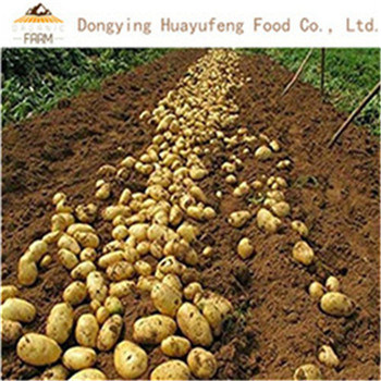 Certified Gap Premium Quality China Fresh Potato Export