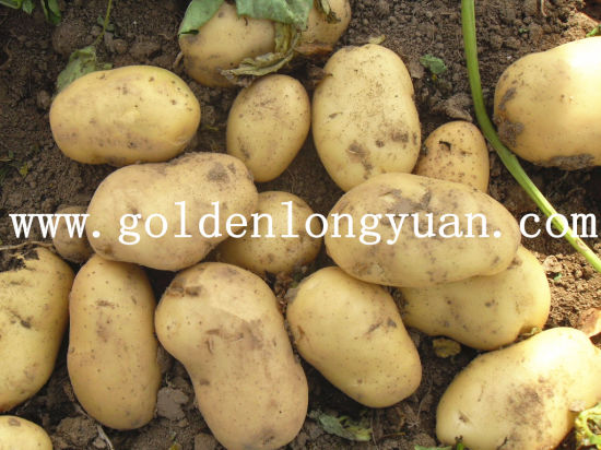 High Quality New Crop Fresh Potato pictures & photos