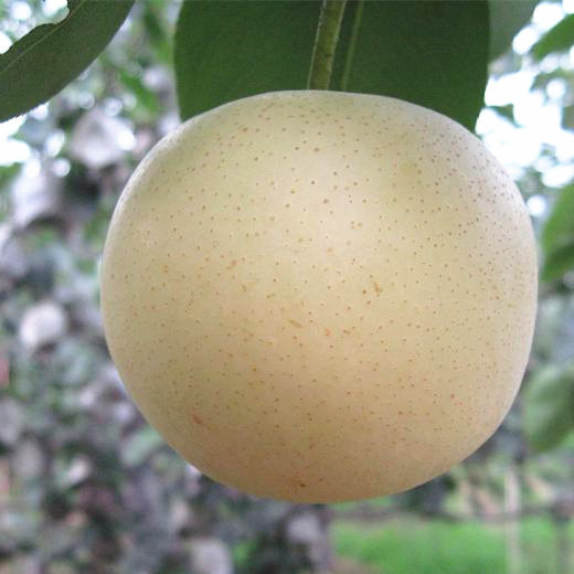 Top Quality Fresh Golden Pear/Crown Pear pictures & photos