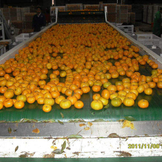 Hot Selling in Bangladesh Market Fresh Baby Mandarin Orange pictures & photos