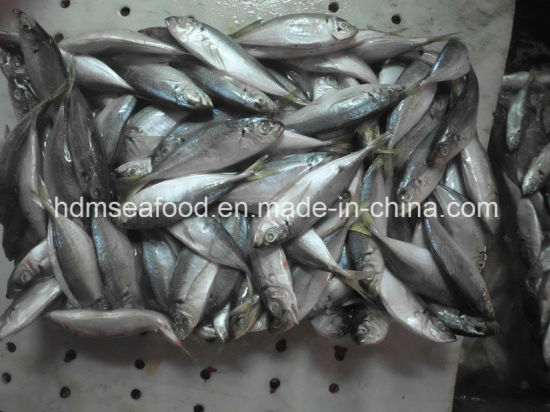 Whole Round Frozen Horse Mackerel Fish pictures & photos