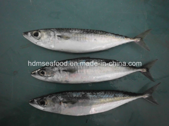 Frozen Seafood Mackerel Fish for Sale