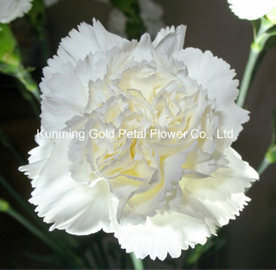 China Wonderful Gifts Fresh Cut Flower White Carnation For Interior